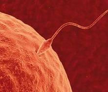 Sintomas da ovulação e a fecundação